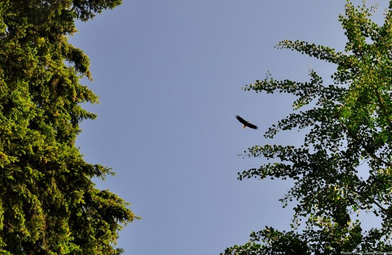 Bald Eagle over Beaux Arts Beach